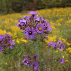 New England Aster (Symphyotrichum novae-angliae). Late summer and autumn bloom. West Mifflin, Pennsylvania. Sep, 2012.