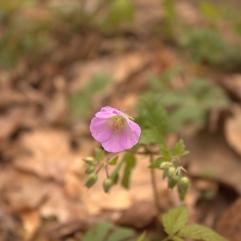 Wild Geranium (Geranium maculatum). Ohiopyle State Park, Pennsylvania. Apr, 2012.