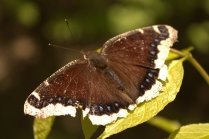 Mourning Cloak (Nymphalis antiopa). A large butterfly of the forest. Caterpillars are spiny, black and with red spots along center. South Park, Pennsylvania. May, 2012.