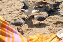 Laughing Gulls (Larus atricilla) Rehoboth Beach, Delaware. Aug, 2010