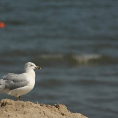 Ring billed Gull (Larus delawarensis). Lewes Beach, Delaware. Aug, 2010