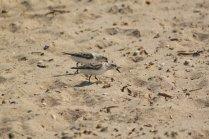 Semipalmated Sandpiper (Calidris pusilla). Lewes Beach, Delaware. Aug, 2010