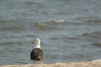 Great Black-backed Gull (Larus marinus), the red spot on the bill of many gulls is where chicks peck to induce the adult to regurgitate food. Lewes Beach, Delaware. Aug, 2010