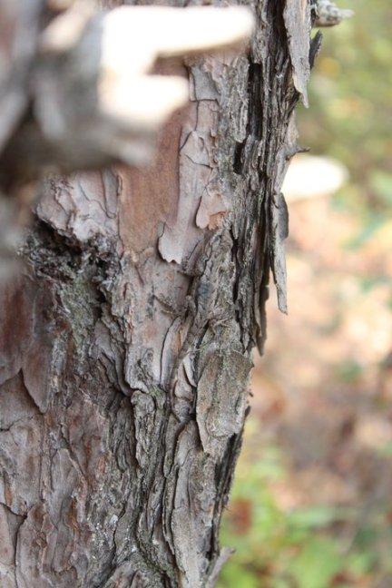 Eastern Fence Lizard (Sceloporus undulatus) Seneca Rocks, West Virgina. Sep, 2010.
