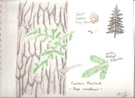 Eastern Hemlock (Tsuga canadensis). Short dark green needles that lay mostly flat, new growth brighter green. Small cones and seeds. Bark is flaky when tree is younger and furrowed when older. Evergreen tree can grow quite tall, but slowly and prefers moist, rocky slopes.