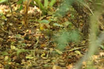 Ovenbird (Seiurus aurocapilla) Florida Keys, Florida. Jan, 2011.