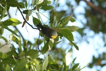 Northern Parula (Setophaga americana) Florida Keys, Florida. Jan, 2011.