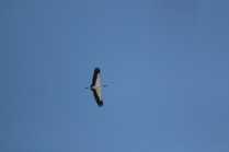Wood Stork (Mycteria americana) Florida Keys, Florida. Jan, 2011.