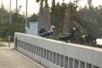 Brown Pelican (Pelecanus occidentalis) Florida Keys, Florida. Jan, 2011