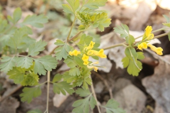 Yellow Corydalis (Corydalis flavula). Also called fumewort. The small yellow flowers help distinguish between species. Lowries Run area, Allegheny County, PA. April, 2016.