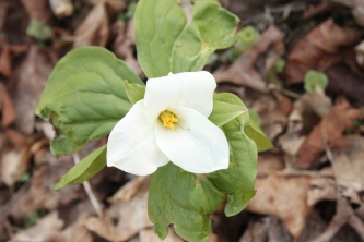 Large-flowered Trillium (Trillium grandiflorum). An impressive white flower with three petals--as the name suggests. This trillium has the largest and most conspicuous flower. Sewickley Heights Boro Park, PA, April, 2016.