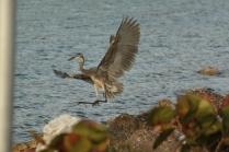 Great Blue Heron (Ardea herodias) Florida Keys, Florida. Jan, 2011.