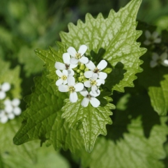 Garlic Mustard (Alliaria petiolata). This non-native plant is common throughout open woodlands to roadsides to backyards. Crouse Run, Allegheny County, PA. April, 2016.