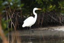 Great Egret (Ardea alba) Florida Keys, Florida. Jan, 2011.