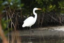 Great Egret (Ardea alba) Florida Keys, Florida. Jan, 2011.