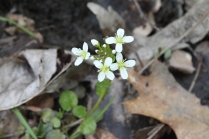 Limestone Bittercress (Cardamine douglassii). A familiar flower as many of the bittercress; identification is in the leaves. Small round leaves with slightly wavy edges. Moist soils. Crouse Run, Allegheny County, PA. April, 2016.