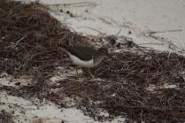 Solitary Sandpiper (Tringa solitaria) Florida Keys, Florida. Jan, 2011.