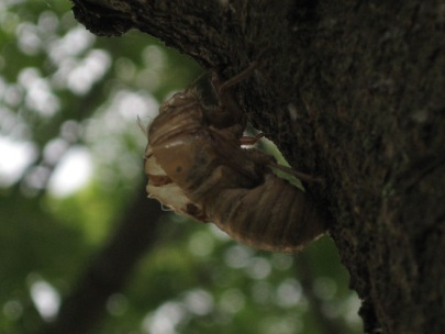 Husk from a cicada. Most likely an annual cicada, the periodical cicadas come out in droves and leave husks everywhere. This husk is left after the flightless late nymph emerges from the ground and molts into the winged adult.