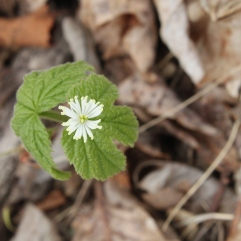 Goldenseal (Hydrastis canadensis). An uncommon plant that bears an unusual flower. The plant's use as a medicine and for yellow dye may have contributed to its decline. Raccoon Creek State Park, PA. April, 2016.