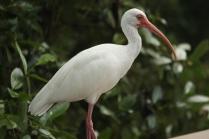 White Ibis (Eudocimus albus) Florida Keys, Florida. Jan, 2011.