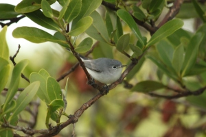 Blue-gray Gnatcatcher (Polioptila caerulea) Florida Keys, Florida. Jan, 2011.