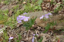 Spotted Geranium (Geranium maculatum). Raccoon Creek State Park, Pennsylvania. April, 2016.