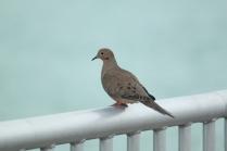 Mourning Dove (Zenaida macroura) Florida Keys, Florida. Jan, 2011.