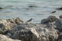 Piping Plover (Charadrius melodus) Threatened Species. Florida Keys, Florida. Jan, 2011.