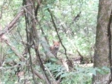 Red Fox (Vulpes vulpes). My apologies for the graininess of the photo. This is the only time that I have both seen a fox and had a camera with me. South Park, Pennsylvania. Sep, 2008.