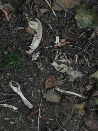 Some bones from a raccoon. Note the jaw bone (top left) and the pelvic bone (bottom left).
