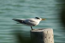 Royal Tern (Thalasseus maximus) Florida Keys, Florida. Jan, 2011.