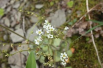 Early Saxifrage (Saxifraga virginiensis). Raccoon Creek State Park, Pennsylvania. April, 2016.