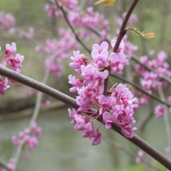 Eastern Redbud (Cercis canadensis). A showy small tree that erupts in pink blossoms all along the stems in spring. Raccoon Creek State Park, Pennsylvania. April, 2016.