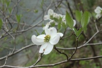 Flowering Dogwood (Cornus florida). A small tree often planted ornamentally. The four white sepals surround several flowers. Raccoon Creek State Park, Pennsylvania. April, 2016.