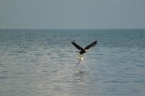 Bad Eagle (Haliaeetus leucocephalus) Florida Keys, Florida. Jan, 2011.