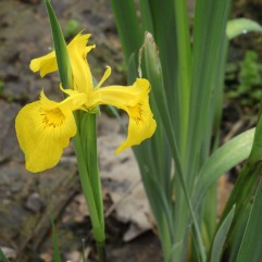 Yellow Iris (Iris pseudacorus). An elegant flower of stream banks and marshes that has become naturalized in the US. North Park, Pennsylvania. May, 2016.