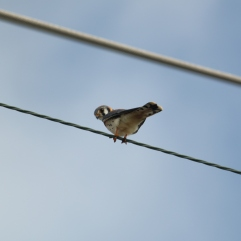 American Kestrel (Falco sparverius) Florida Keys, Florida. Jan, 2011.