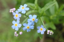 True Forget-me-not (Myosotis scorpioides). A delightful flower of wet soils. This non-native species has a native relative with smaller flowers. North Park, Pennsylvania. May, 2016.