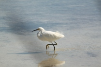 Snowy Egret (Egretta thula). Florida Keys, Florida. Jan, 2011.