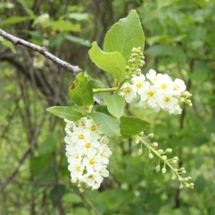 Chokecherry (Prunus virginiana). Very similar to Black Cherry (P. serotina) flowers, other cherries have flowers in small umbels along the stem. North Park, Pennsylvania. May, 2016.