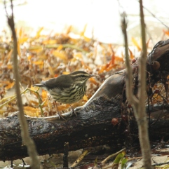 Northern Waterthrush (Parkesia noveboracensis). Florida Keys, Florida. Jan, 2011.