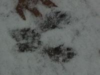 Fox squirrel or gray squirrel prints in the snow.