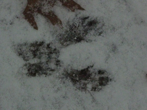 Fox squirrel or gray squirrel prints in the snow.