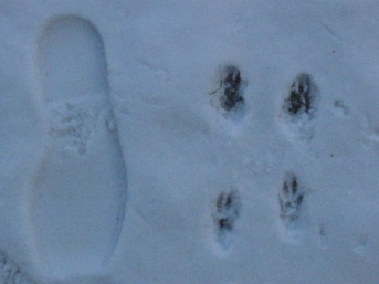 Fox squirrel tracks in snow. Size 12 shoe for scale.