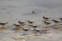 Sanderlings (Calidris alba). Florida Keys, Florida. Jan, 2011.