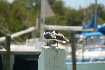 Laughing Gull (Leucophaeus atricilla). Florida Keys, Florida. Apr, 2011.
