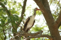 White Ibis, immature (Eudocimus albus). Florida Keys, Florida. Apr, 2011.