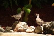 Eurasian Collared-Dove (Streptopelia decaocto). Florida Keys, Florida. Apr, 2011.