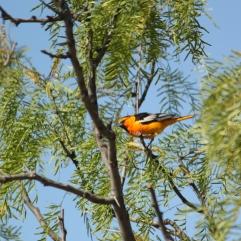 Bullock's Oriole (Icterus bullockii). Palo Duro Canyon State Park, Texas. May, 2011.