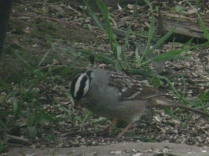 White-crowned Sparrow (Zonotrichia leucophrys). Pittsburgh, Pennsylvania. May, 2009.